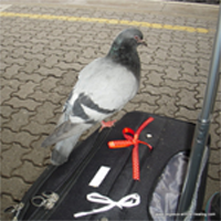 The Workshop Carrier Pigeon