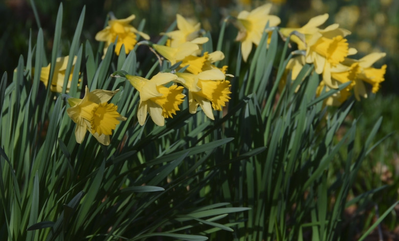 Spring Landscape: Serene Daffodils