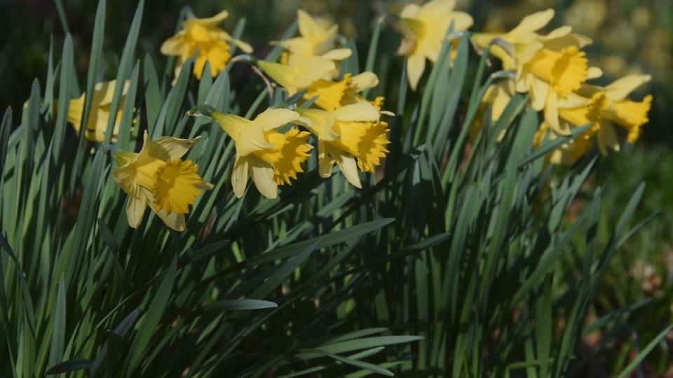 Serene Daffodils