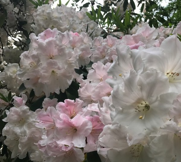 May2017icepinkRhodedendron