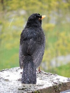 blackbird in the rain